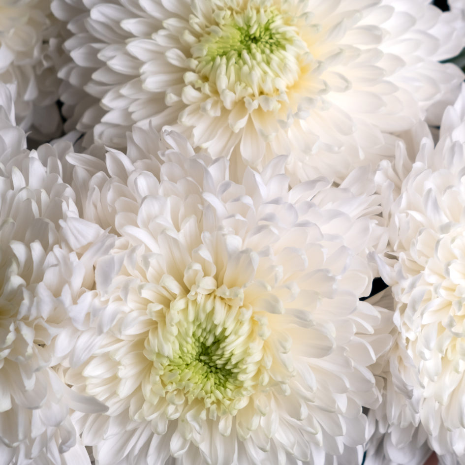 Хризантема белая доставка по Челябинску
