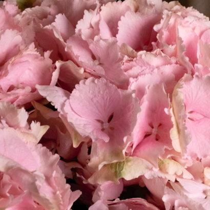 Гортензия розовая доставка Челябинск